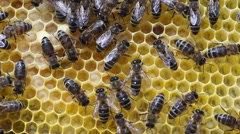 Larva in the honeycomb Stock Footage