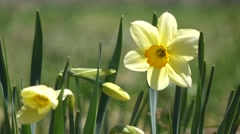 Daffodil with bud in wind - stock footage
