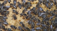 Honey bees - stock footage