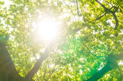 Green oak leaves, bright sun - stock photo