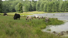 Wild bison and ponys eat grass. Stock Footage