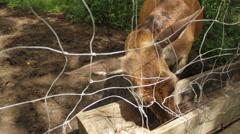 Deer is eating from feeder. - stock footage