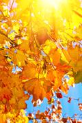 Maple leaves in the sun Stock Photos