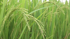 Green field with rice stalks swaying in the wind, hd video Stock Footage