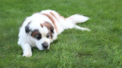 Saint Bernard dog resting on and sniffing lawn, video Stock Footage