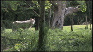 Stock Video Footage of Gray Wolf Looking Right Towards Camera