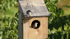 A small birds Sparrows nesting in a nest box. Stock Footage