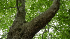 A huge tree with green leaves. Bottom view. Windless weather. Stock Footage