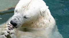 4k – White bear eats fish 01 Stock Footage