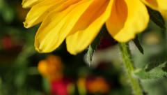 Tilting on orange Rudbeckia hirta also known as  Irish Spring flower in the g Stock Footage