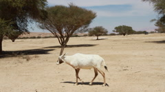 Stock Video Footage of Antelope in the Hai Bar National Biblical Wildlife Reserve
