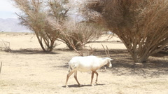 Antelope in the Hai Bar National Biblical Wildlife Reserve Stock Footage