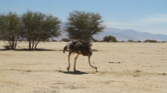 Stock Video Footage of Ostrich in the Hai Bar National Biblical Wildlife Reserve