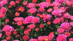 Beautiful flowers of  pink purple chrysanthemums Stock Footage