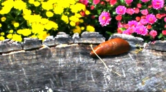 Red Slug  on wooden stump Stock Footage