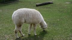 Stock Video Footage of alpaca on grass