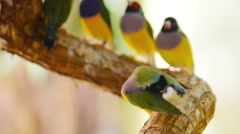 Gouldian finch Stock Footage