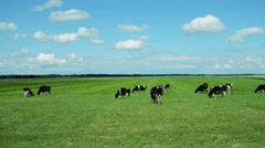 Cows grazing on a green pasture - stock footage