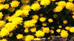 Beautiful flowers of  yellow chrysanthemums Stock Footage