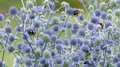 4k – Bumble bees on flowers 01 Stock Footage