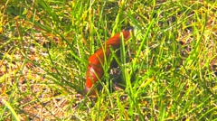Red Slug in the green grass Stock Footage