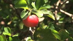 Picking Spring Red Fruit, Acerola, Barbados Cherry Stock Footage