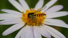 Fly hoverflies on white flower Stock Footage