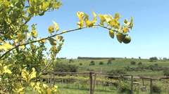 Lemon tree, sunny day, farm, countryside Stock Footage