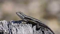 Australian Nobbi Dragon (Diporiphora nobbi) Stock Footage