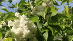White lilac branches in wind video footage Stock Footage
