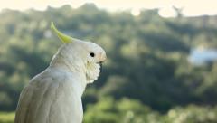 Stock Video Footage of Cockatoo on balcony 01