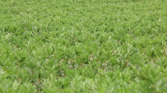 Broad bean field in full bloom agriculture organic farming concept footage Stock Footage