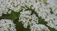Black ant on white flower Stock Footage