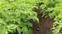 Green potato field organic farming footage Stock Footage