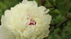 Large white peony flower garden footage Stock Footage