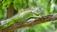 Iguana on branch of tree Stock Footage