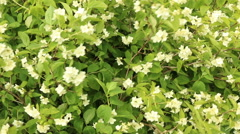 Jasmine in full bloom organic green leaves footage - stock footage