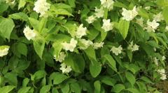 Jasmine in full bloom organic green leaves footage Stock Footage