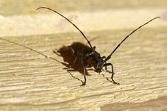 Sawyer beetle (Monochamus galloprovincialis) Stock Photos