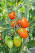 Stock Photo of A cluster of tomatoes