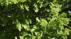 Oak tree in sunny summer day green leaves in wind motion video footage Stock Footage