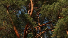 Pine tree in sunny summer day branch in wind motion video footage Stock Footage