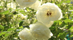 White rose in garden video footage motion Stock Footage