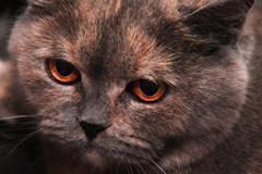 British Shorthair cat with very beautiful eyes Stock Photos