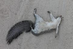 Roadkill Grey Squirrel - stock photo
