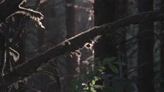 Forest Foliage: AM Light With Sound And Sun Rays Stock Footage