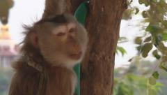 Macaque in Vientiane, Laos Stock Footage