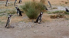 Magellanic Penguin (Spheniscus magellanicus) - stock footage