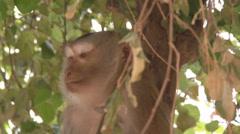 Macaque in Vientiane, Laos Stock Footage