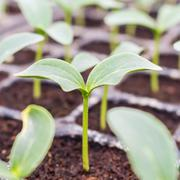 Close up cucumber seedling on soil in greenhouse. Stock Photos